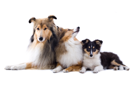 group of schotisch collie dogs